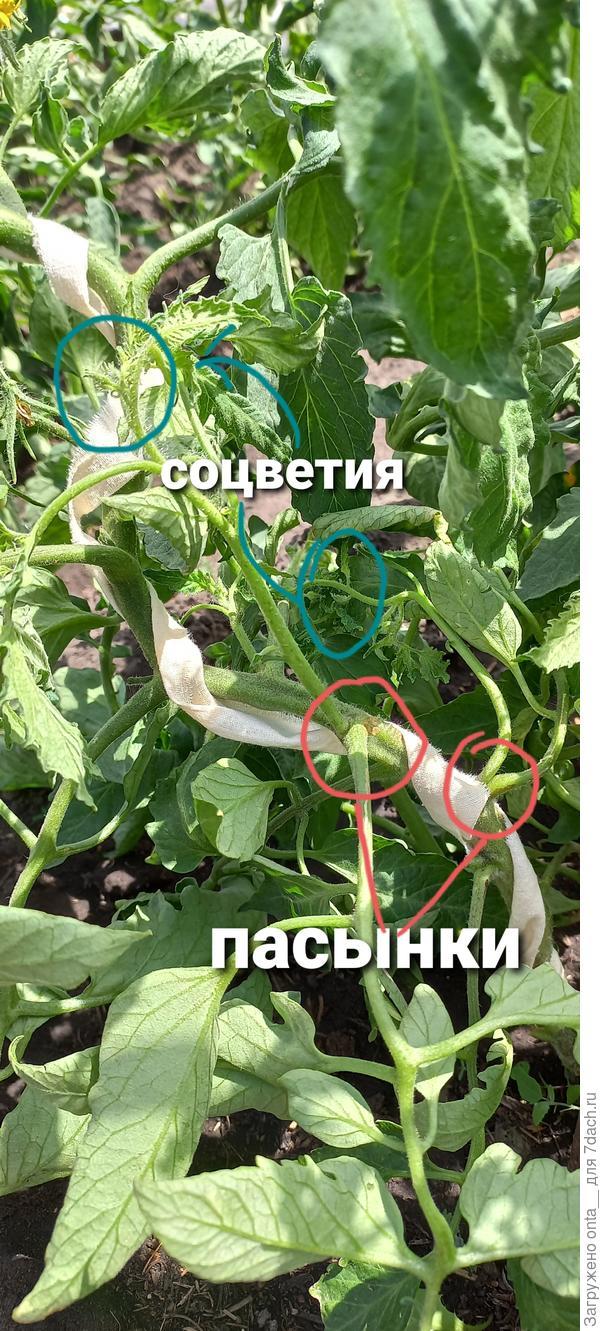 Что пасынковать у томатов?