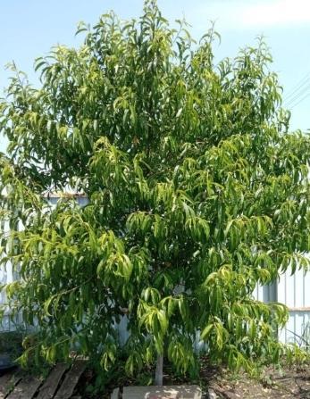 Почему у персика остановилось развитие кроны?