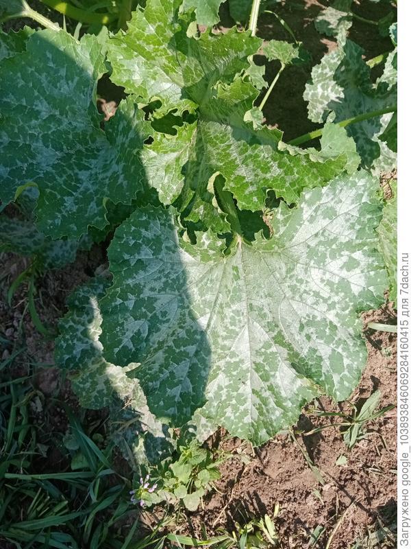 Почему на листьях кабачка Грибовский странный рисунок?