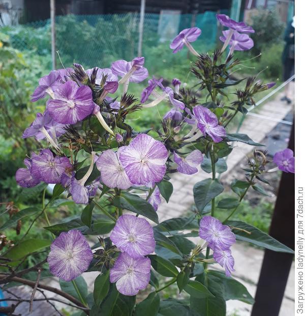 Флокс Freckle Purple Shades из коллекции голладского селекционера.