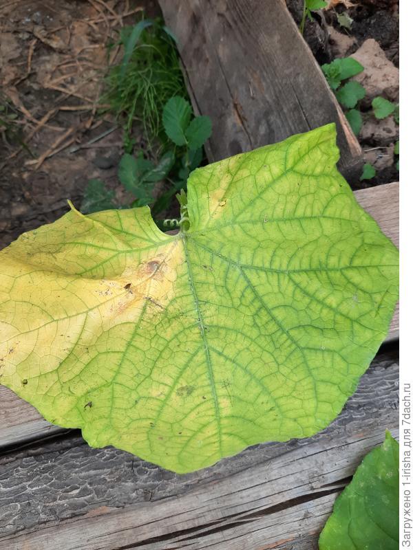 Нижние листья