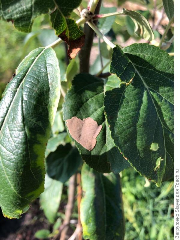 пленка на листьях