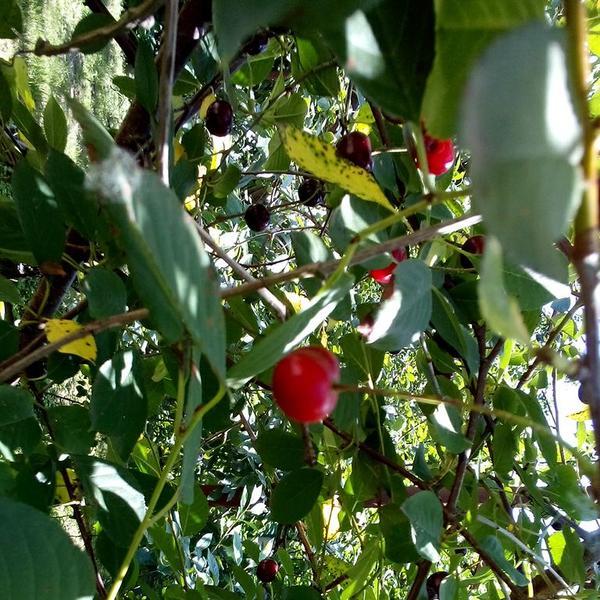 спелая вишня растет вдоль тропинки