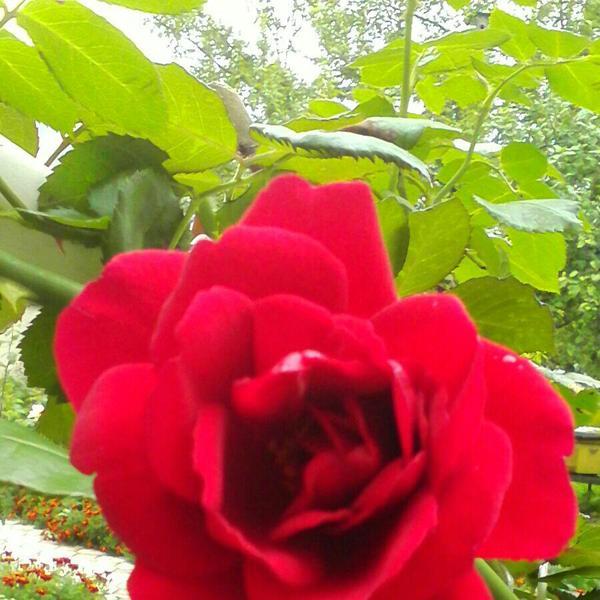 Плетистая роза.  Повторное цветение.