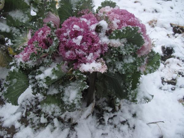Декоративная капуста в снегу