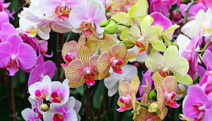 Эта чудесная орхидея...
