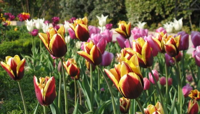 20 лучших сортов тюльпанов Триумф