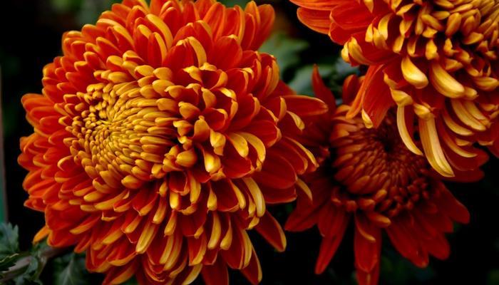 Крупноцветковые хризантемы со всего мира