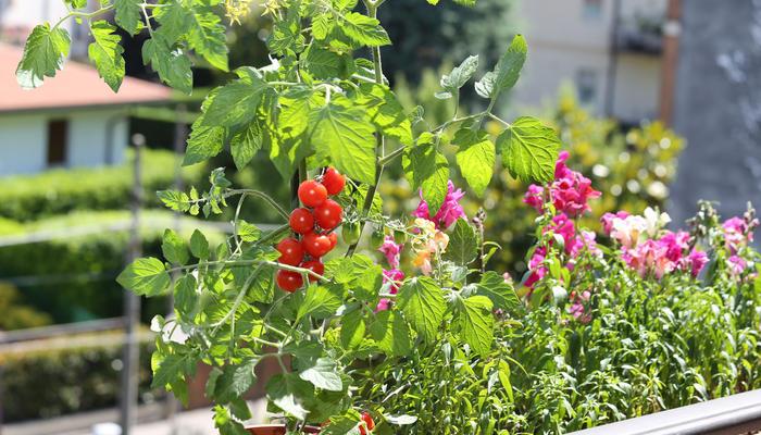 Лучшие сорта и гибриды горшечных томатов