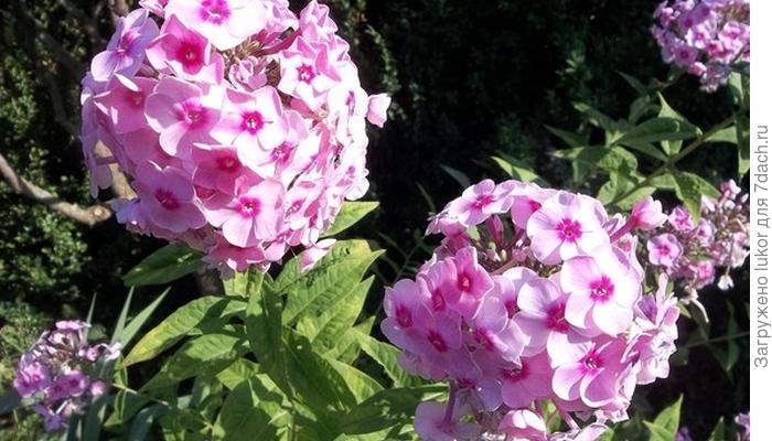 Флоксы. Ранневесенняя посадка и летний уход