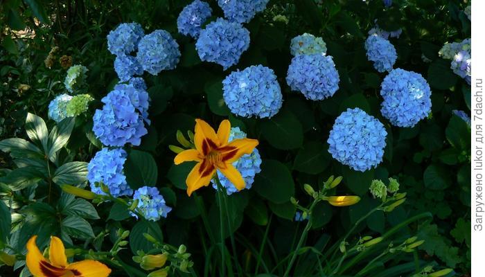 Синие краски июня в саду.