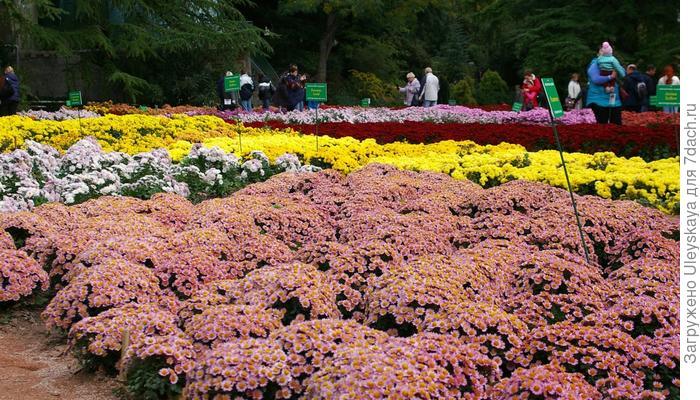 Бордюрные и низкие хризантемы - фавориты этой осени