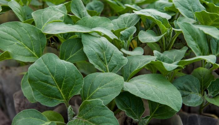 Как вырастить рассаду баклажанов