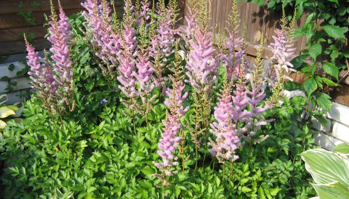 Красавица астильба: лучшие сорта и секреты выращивания в саду