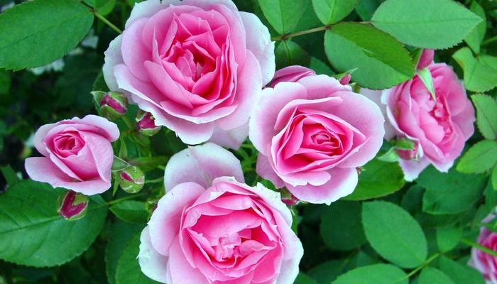 Эту розу не загубишь, не убьешь
