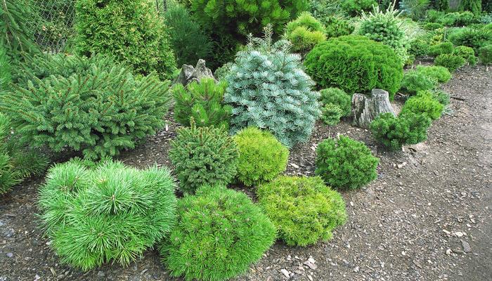 Карлик рос... Как выбрать миниатюрные хвойные для своего сада