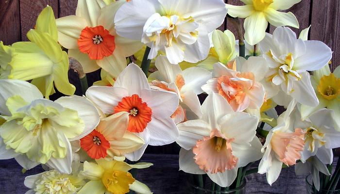 Нарциссы. Сорта, достойные наград