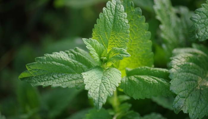 Рецепты здоровья: мелисса - ароматное средство от бессонницы и стресса