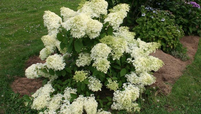 Красавица северного сада - метельчатая гортензия