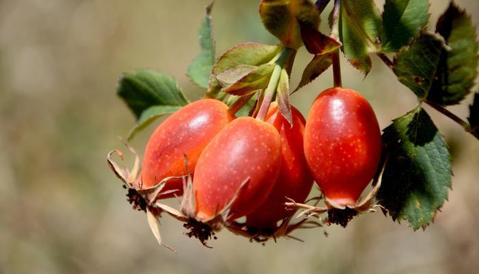 Рецепты здоровья: целебные настойки с плодами шиповника для профилактики и лечения простуд