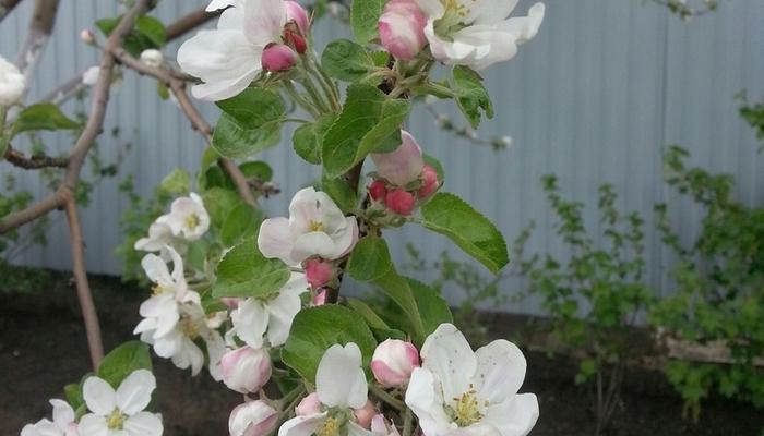Мой сад в цвету. Весенние краски  мая 2017...