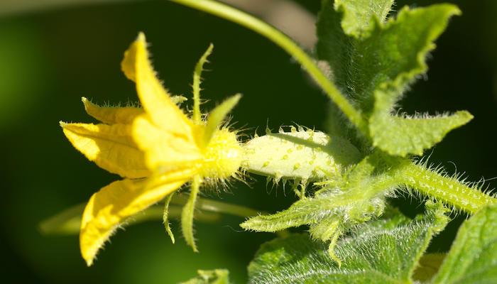Почему желтеют завязи у тепличного огурца