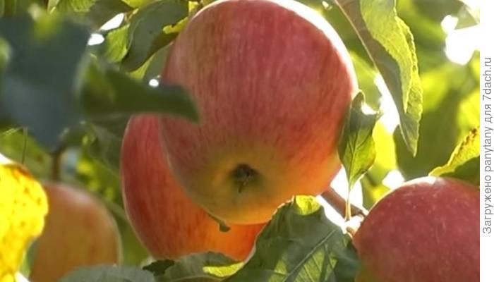 Как сохранить урожай яблок - четыре секрета садоводу на вооружение