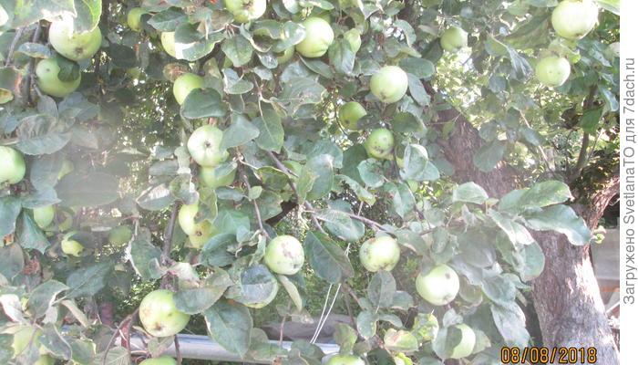 Яблочный компот, или Удобрение с приятным яблочным запахом