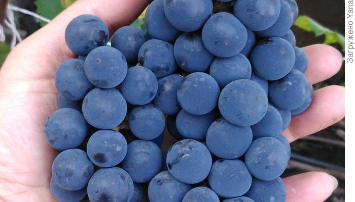Видео про виноград и его сорта