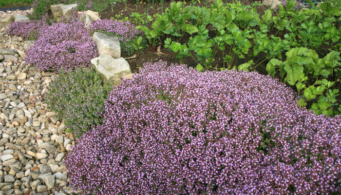 Чабрец, или тимьян ползучий: полезные свойства растения и противопоказания к применению