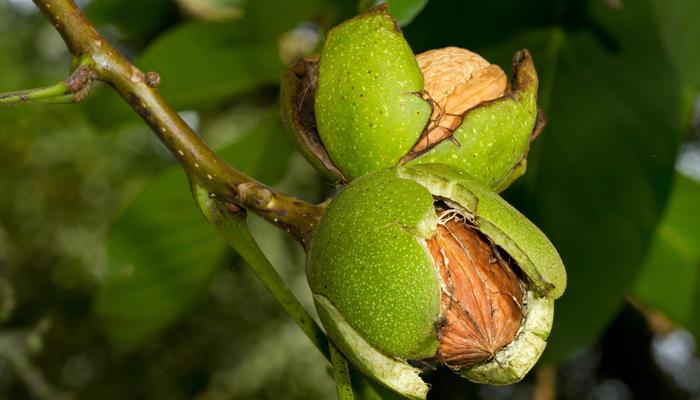 Грецкий орех – дерево жизни. Посадка, выращивание и уход