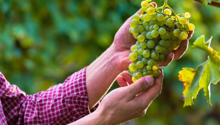Виноград для северных регионов. Советы от Агрофирмы ПОИСК