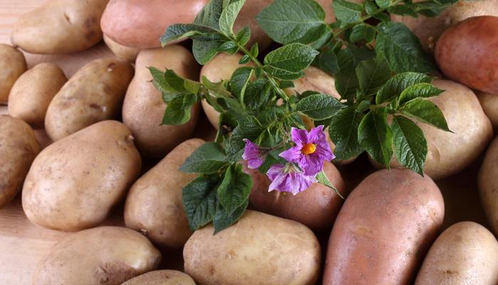 Как собрать картофель уже в июне: 7 секретов раннего урожая