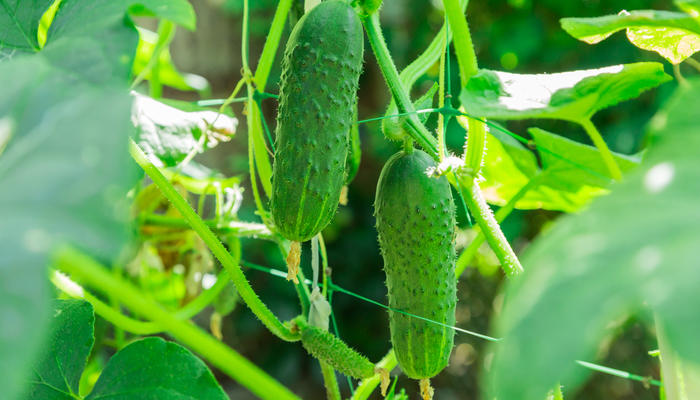Самый простой способ увеличить урожай огурцов. Пасынкование