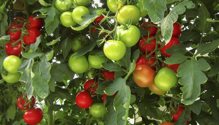 Чем опрыскать томаты от фитофторы: 20 копеечных средств
