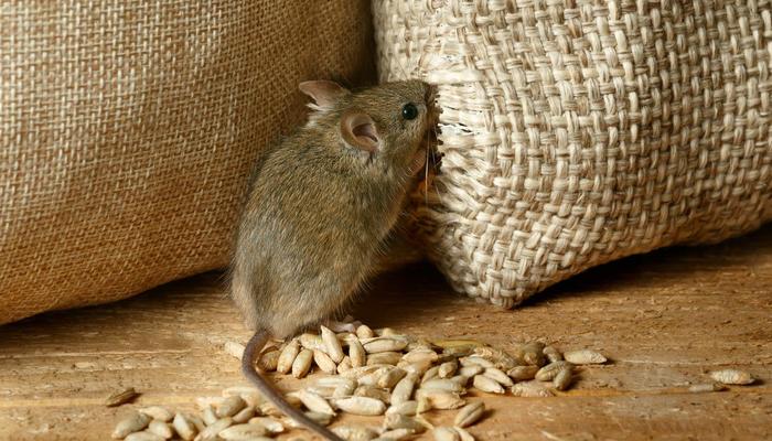 Осеннюю миграцию мышей объявляем открытой, или Как прогнать грызунов из своего дома