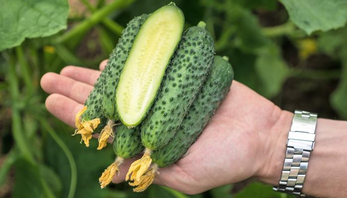 Огурцы – наше летнее все! Сажаем урожайные скороспелые гибриды