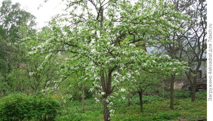 Домашнее задание к уроку № 2. Плодовый сад весной: как защитить растения
