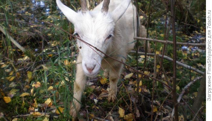 Про козленка Сдохлю и жизнь козы