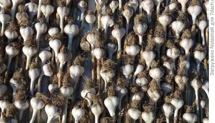 Домашнее задание №6: свой чеснок каждый год - урожай из урожая!