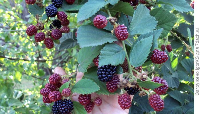 Крупноплодная ежевика: легкий уход – большой урожай
