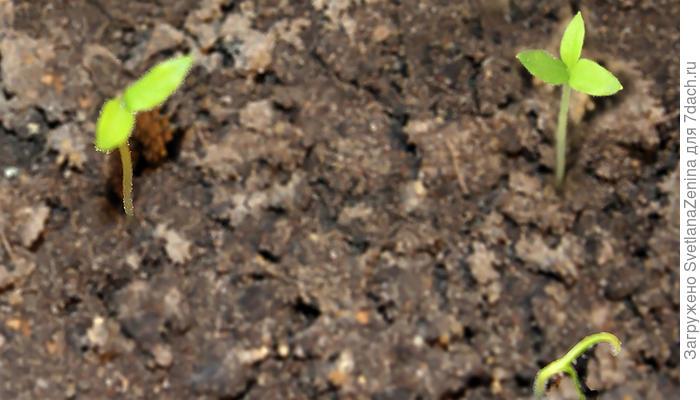 Баклажан Мишутка. II этап. Всходы. Появление настоящих листьев дубль-посева