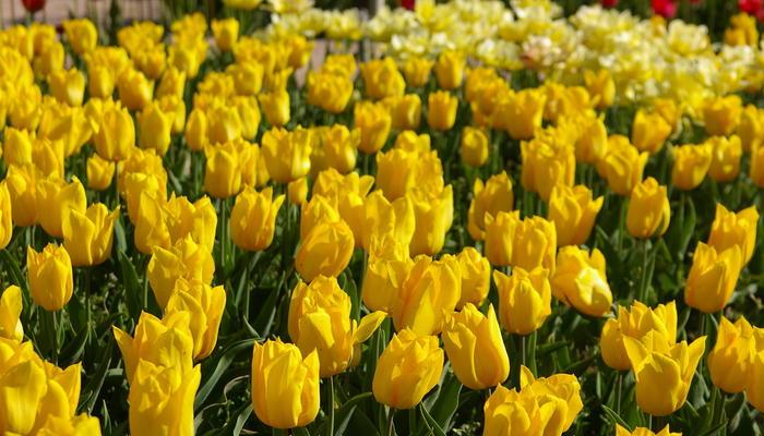 Тайна желтых тюльпанов. Почему их так любят дизайнеры и садоводы?