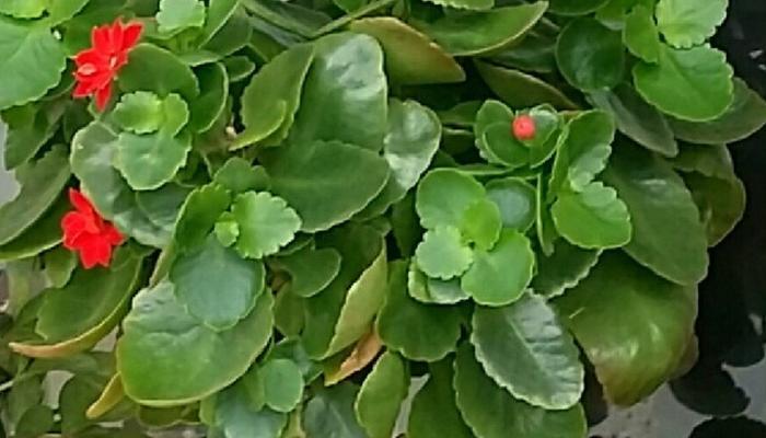 Каланхоэ - яркие звёздочки в доме (выращивание, уход, пересадка и размножение – из личного опыта)