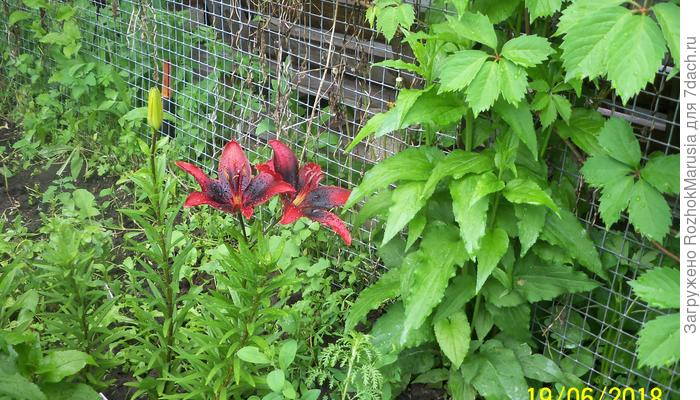 Цветение лилий длиною в лето! Часть 1