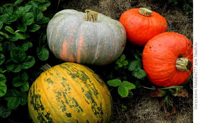 Голосемянка, лечебная и оранжевые солнышки