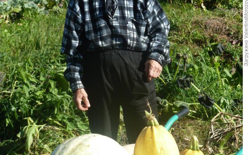 Соседка убирает урожай тыквы. Теперь и у меня растут.
