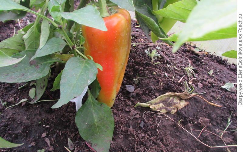 Перец Альтаир — насыщенные вкус и цвет (в полной спелости сочно-алого цвета), длина от 14 см.  Производитель семян — НПО «Сады России»