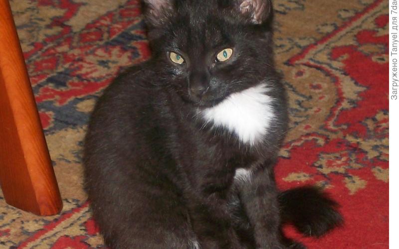 Прошло не так много времени, чуть больше 9 лет, как я подобрала его на улице. Страшненького котенка с большими ушами, узкими глазами и длинными лапами.