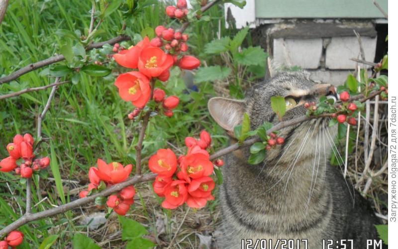Наш младший котик Сёма обожает нюхать цветочки ), в данном случае это айва японская. Первый выезд после долгой зимы.